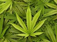 cannabis_law